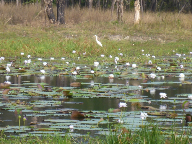 Lilies and birds in Lakefield NP.