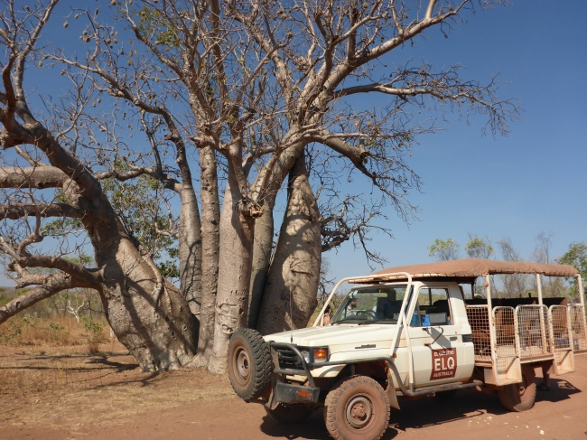 A collection of large Boabs, and our chariot.