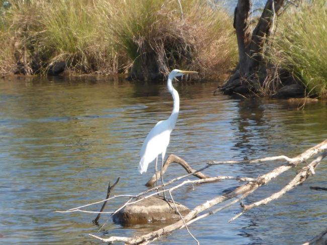 An Egret, I think.