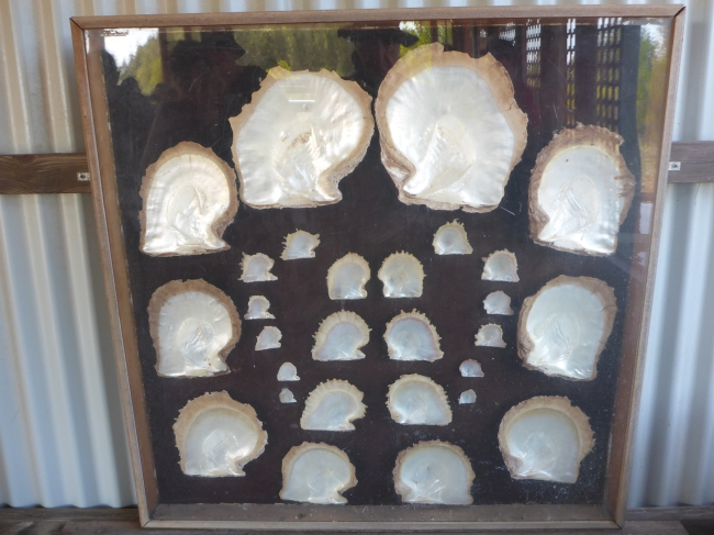 A nice selection of oyster shells, in various stages of growth.