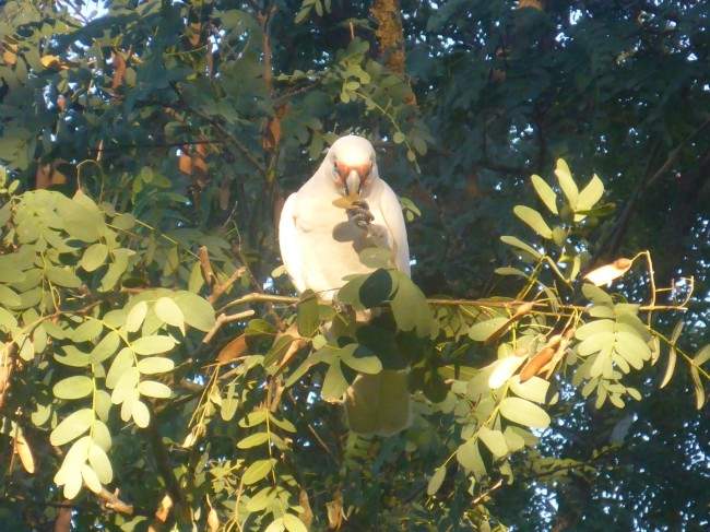A Cockateel eats lunch.