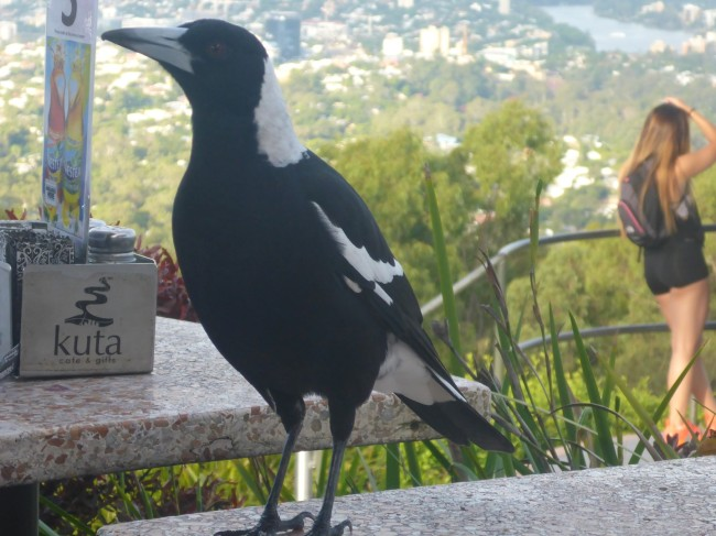 Pretty bird, up at Mount Coot-Tha.