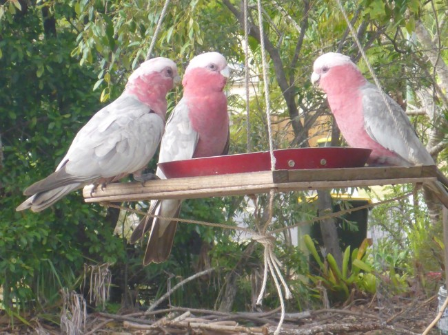 Three very pretty Galah Cockatoos. Quite common now in urban areas.