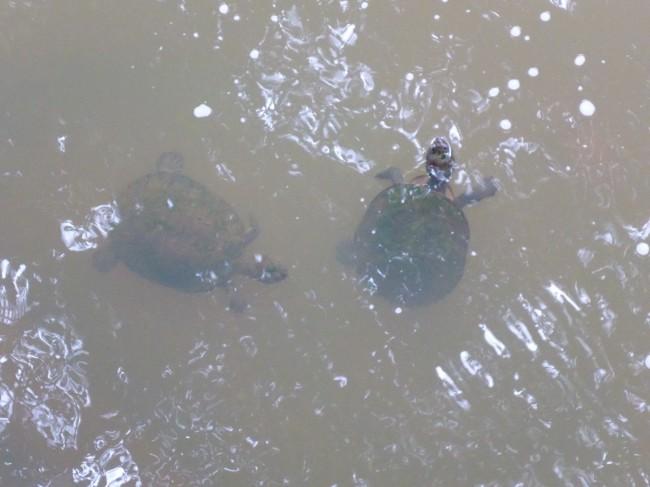 Freshwater turtles.