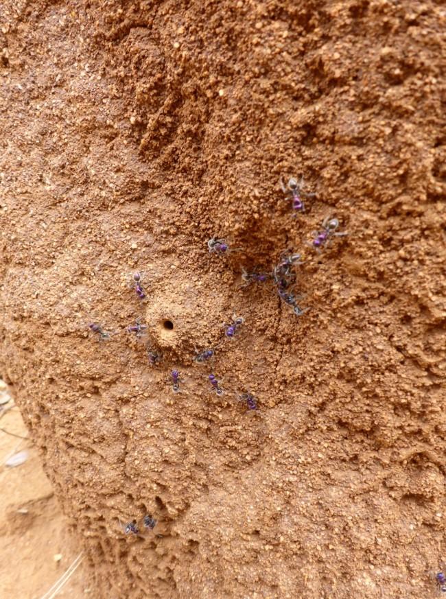 Blue arsed ants.