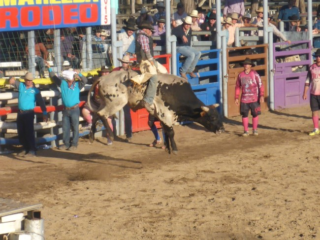 Those bulls sure can jump!