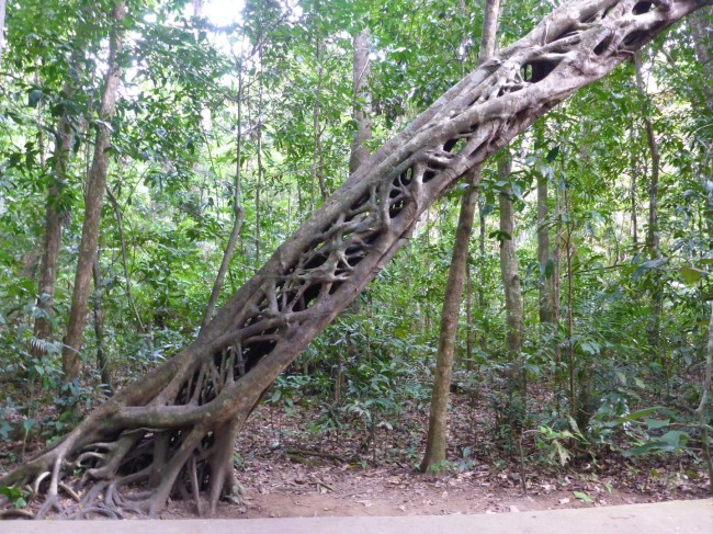 Tropical rainforest Strangler Fig.