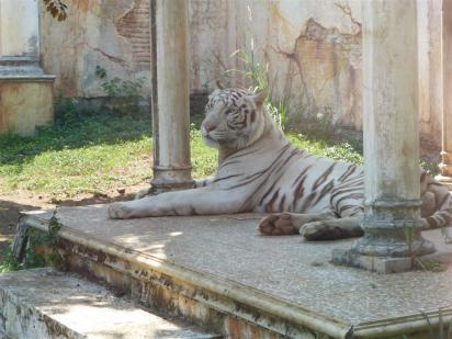 A rare White Tiger.
