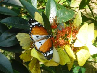 Very pretty butterfly, helping flowers to pollinate.