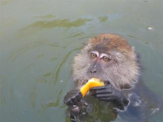 Well deserved fruity reward for a swimming monkey