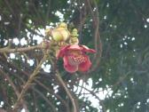 Flower of the Cannonball Tree.